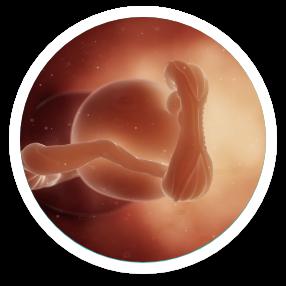 pregnancy-week-by-week-growth-ratio1-week-5